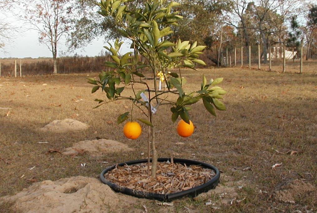 2 Oranges and a gopher mound, Кипресс-Гарденс