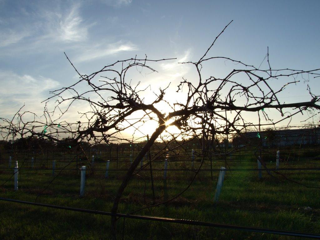 Through the Vines, Клевистон