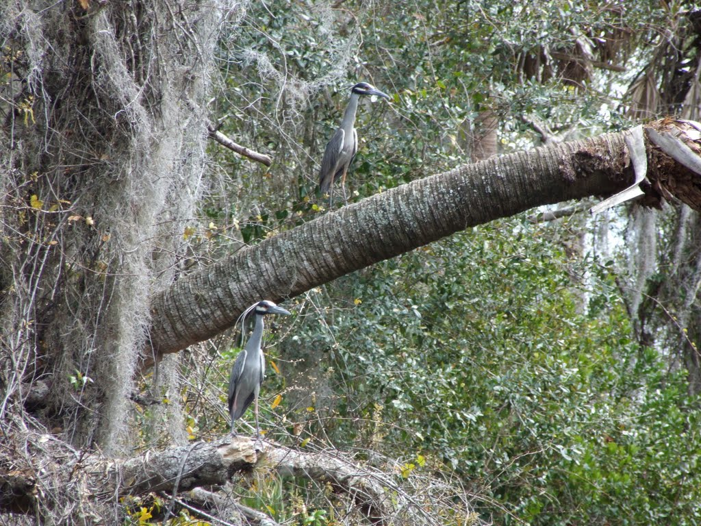 Blue herons, Кливленд