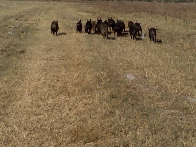 Herd of wild hogs at the water treatment plant, Кливленд