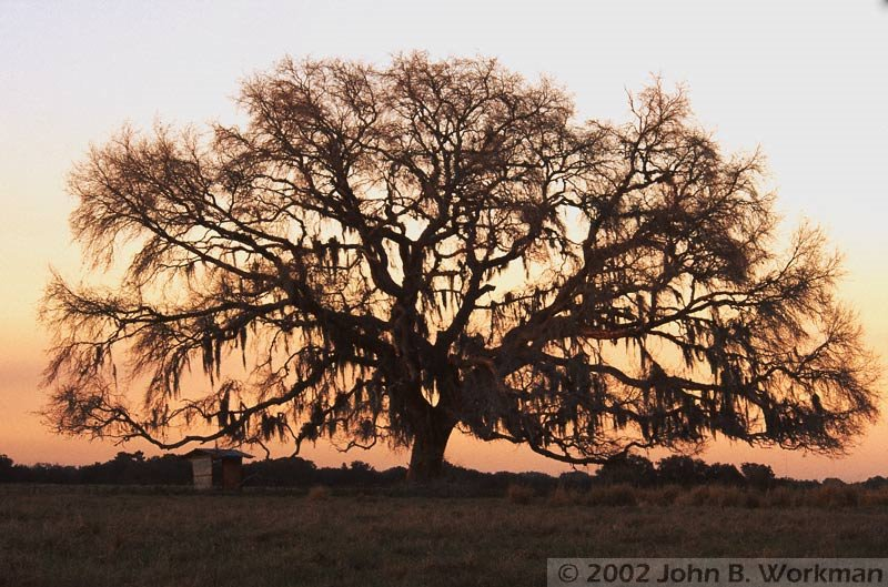 Live Oak at Sunrise - Hernando County, FL, USA, Лакеланд