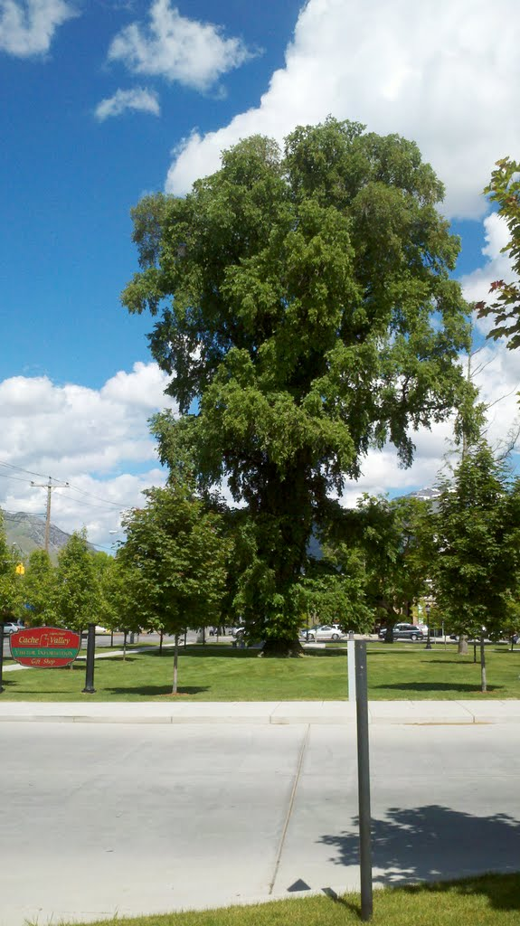 Large Rock Elm Tree by Old Courthouse, Logan, UT, USA, Логан