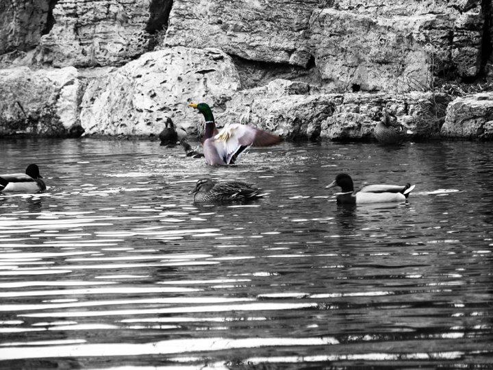 ducks, Муррей