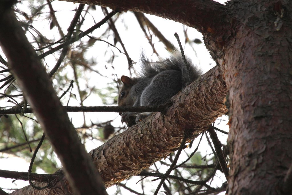 Eastern Gray, or Grey Squirrel (Sciurus carolinensis), Ватерлоо