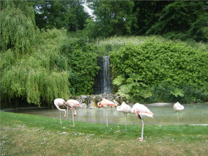 Flamingo pool, Dudley Zoo, Дадли