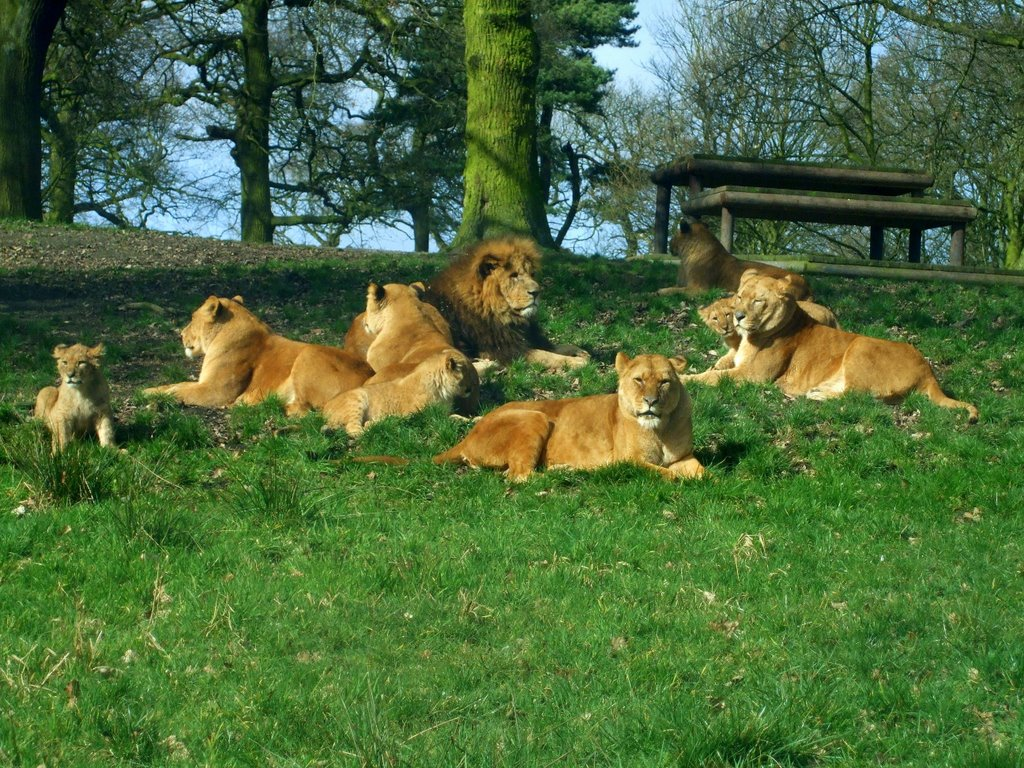 Knowsley Safari Park - lions, Прескот