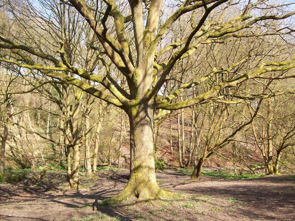 oak, Хиндли