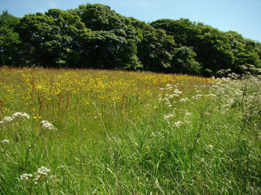 Spring flowering meadow off Penistone Road, Sheffield S35, Чапелтаун