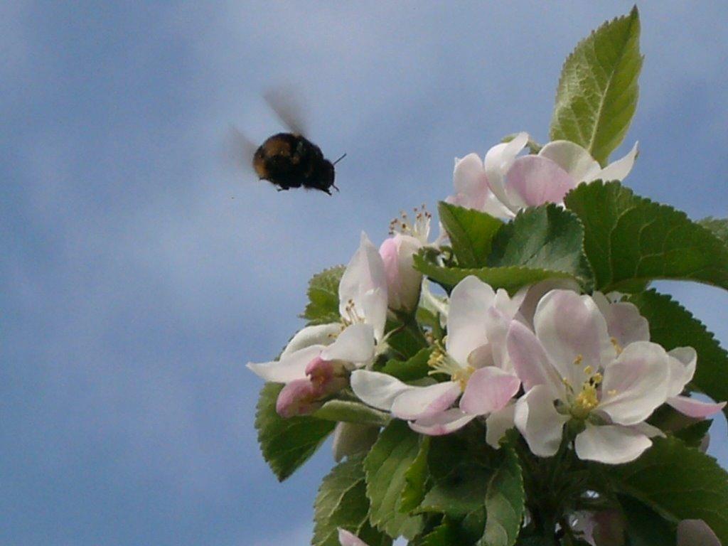 Bee, Честер