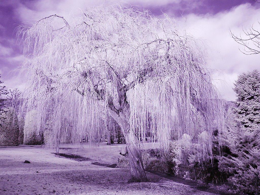 Weeping Willow, Честер