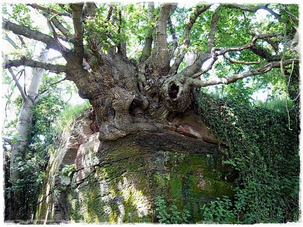 Tree, Честер