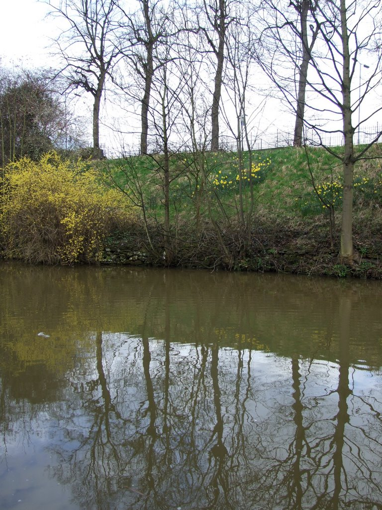 Daffodils and Forscythia reflected in Chester Canal, Честер
