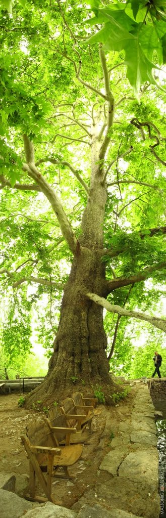 Nagorno-Karabakh Republic, giant plane tree near spring in Tyak village | Нагорно-Карабахская республика, огромный платан рядом с родником в деревне Тяк, Гадрут
