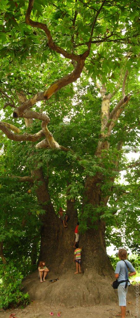 Nagorno-Karabakh Republic, 2000-years plane tree near Skhtorashen village | Нагорно-Карабахская республика, 2000-летний платан неподалёку от деревни Схторашен, Артем-Остров