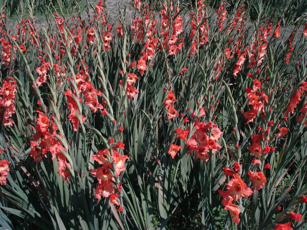 GLADIOLUS FIELD  in botanical garden of lucknow., Кара-Кала