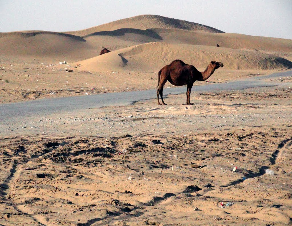 Camel Enjoys a Scorching Hot Day (Karakum Desert, Turkmenistan), Небит-Даг