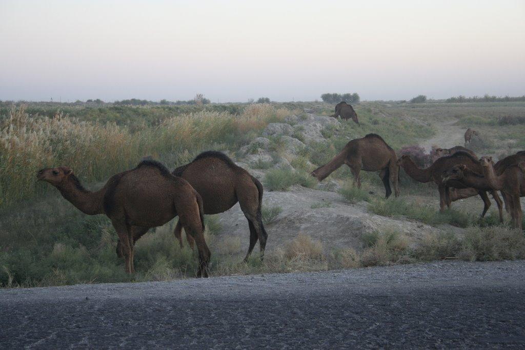 Dromedaris a Turkmenistan, Захмет