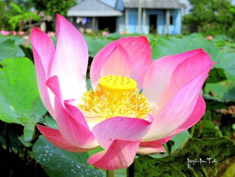 Sen hồng, Пхан-Тхит