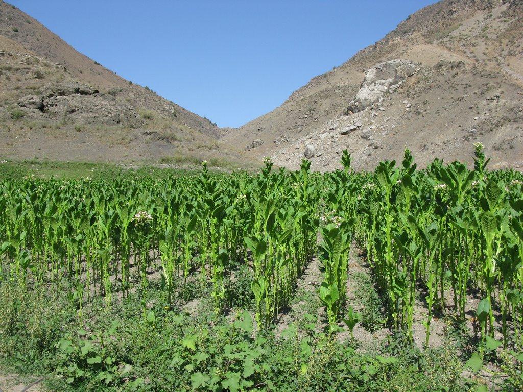 Chilesay, tobacco plantation, Алтынкуль