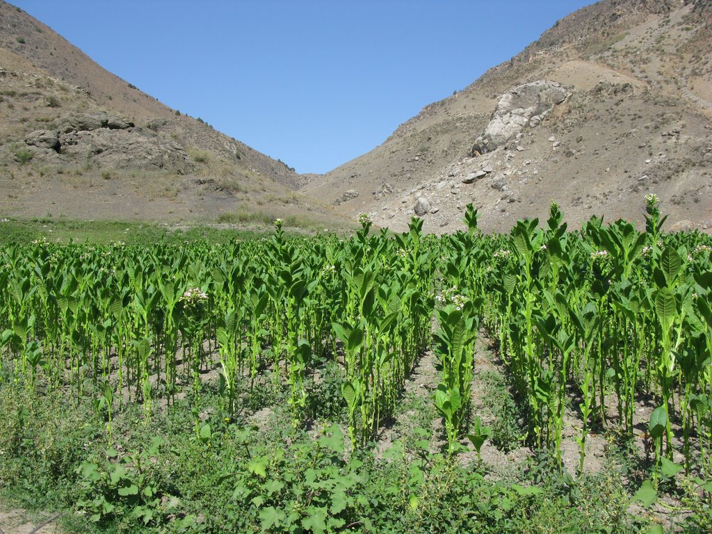Chilesay, tobacco plantation, Балыкчи