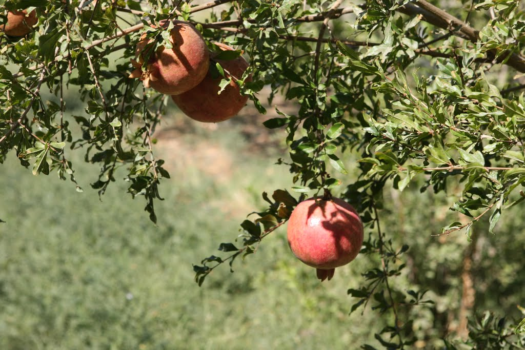 Pomegranate tree., Галаасия