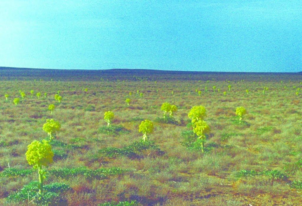 Vernal ferula. Spring, 1986, Каракуль