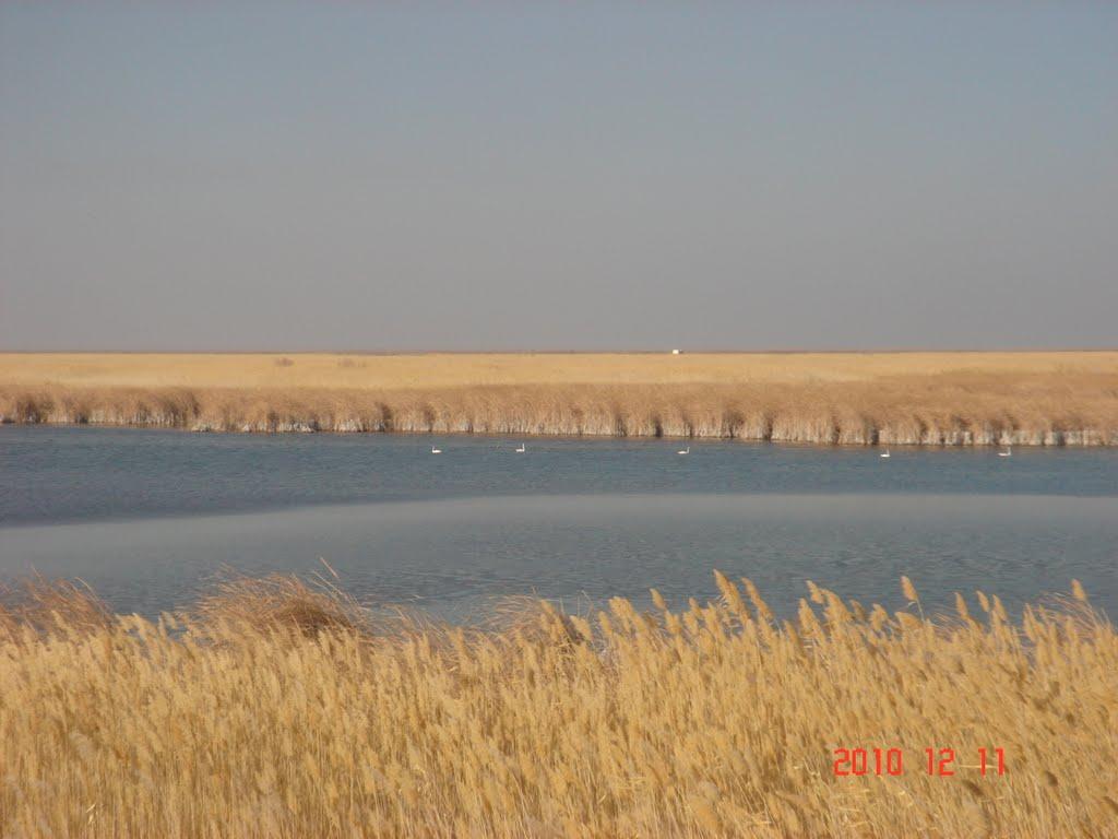 лебеди, Каракуль