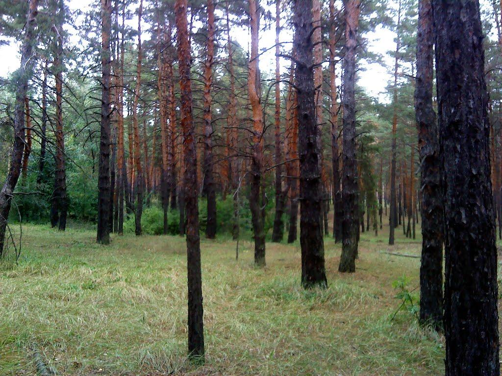 Сосновый лес., Кировск