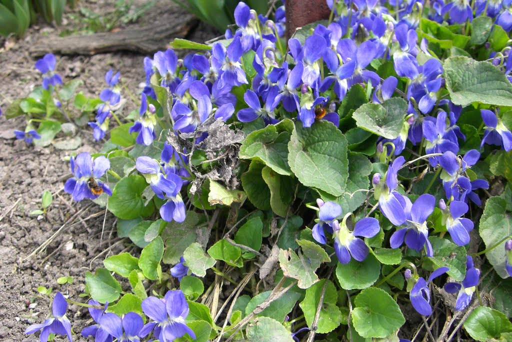 Фиалки Ананьева.( Violets of Ananyev), Ананьев