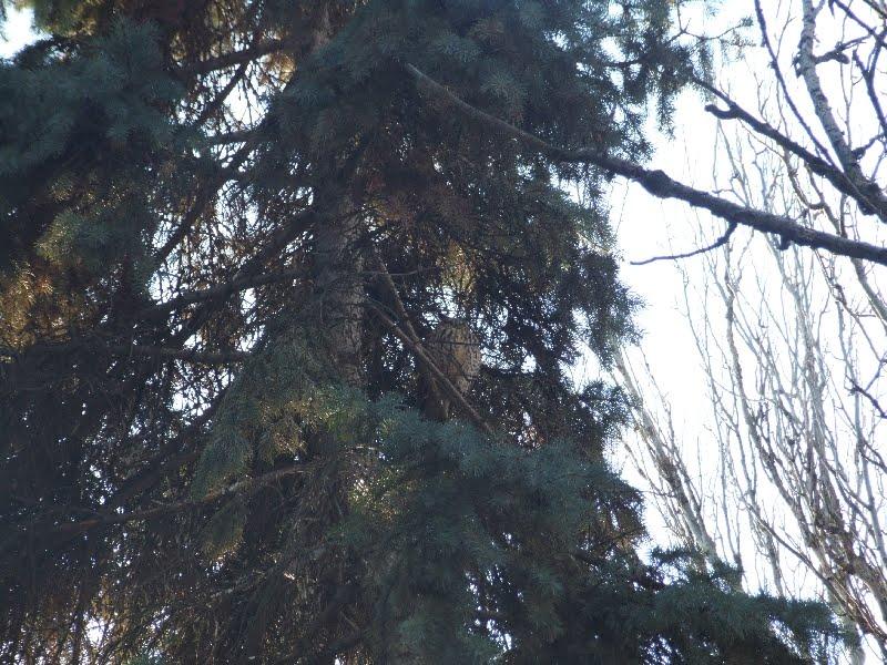 совы, Беляевка